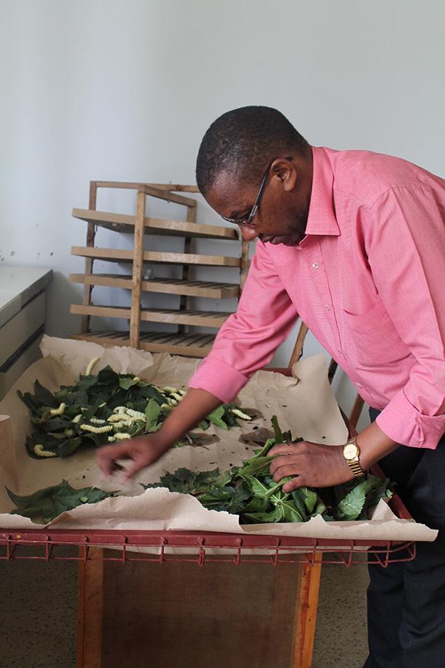 ケニア国立蚕糸研究センターでのカイコ飼育の様子